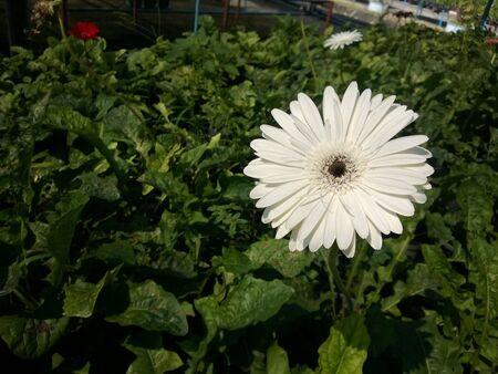 white: White gerbera