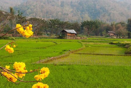 Rice field with golden tree  Tabebuia chrysantha Nicholson  and little hut photo