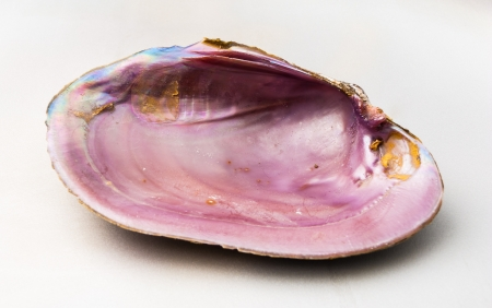 lustrous: Pink color of Abalone  Pao Hua Sea Shell  Stock Photo