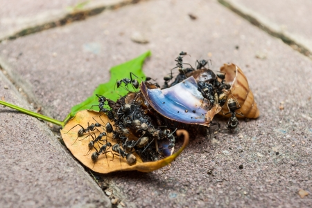 harmonize: Many black ants are eating snail together.