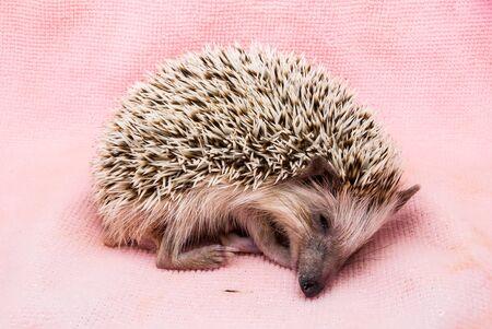 mouth cloth: Cute Brown Hedgehog Sleeping on Dirty Cloth. Stock Photo