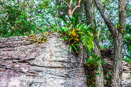 epiphytic: Wild Orchid Growing on Cliff in Forest [Dendrobium]