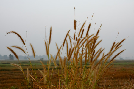 cane plumes: dry grass