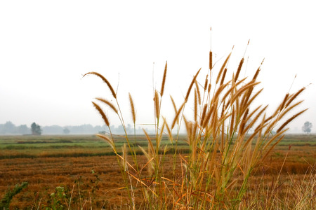 cane plumes: Dry Grass Stock Photo