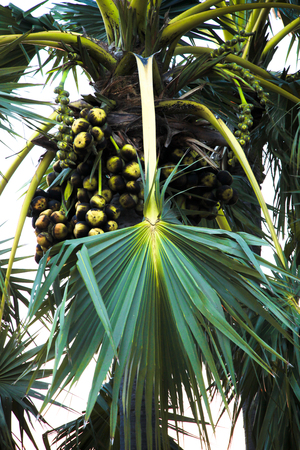 toddy palm: Nature Toddy palm- and palmyra- Tree