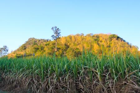 sugar cane farm: natural greenland sugar cane farm Stock Photo
