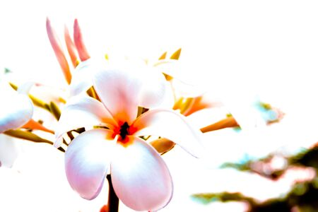 efflorescence: abstract Plumeria flowers white color Stock Photo