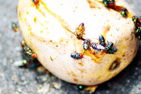 rot: Fly mangoes rot