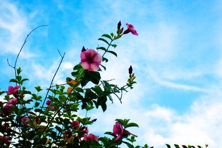 frangipani flowers pink color Stock Photo