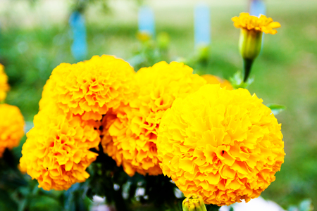 Blurred summer background with growing flowers calendula, marigold. Sunny day