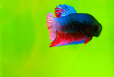 Fighting fish (Betta splendens) Fish with a beautiful array of colorful beauty