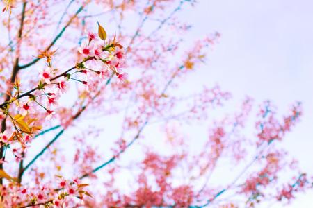 Sakura or cherry blossom on blue sky background Archivio Fotografico - 121910777