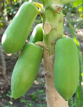 Papaya on papaya tree photo