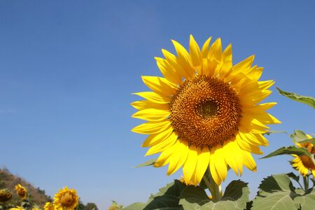 Sunflowers in a field, beauty in nature photo