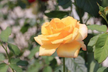 yellow roses: brotes de rosas amarillas en el jard�n