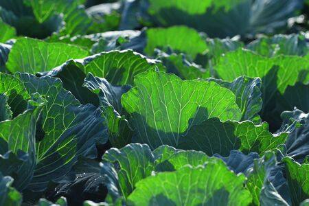rowth: Biggest Cabbage Field in Thailand Stock Photo