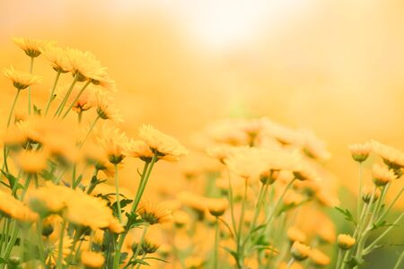 bouquet of blurred beautiful yellow daisies in morning color tone for background