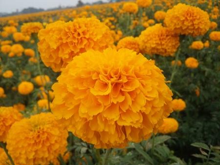 aisa: marigold
