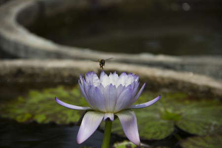 bee on flower: beautiful lotus flower and bee