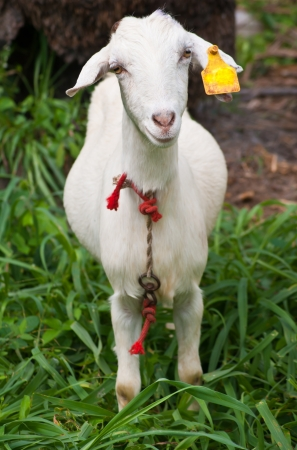 Goat animal photo