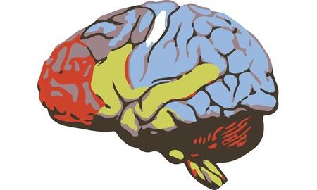 occipital: Brain Illustration