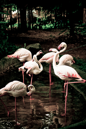 wade: Birds flamingos wade in the pond