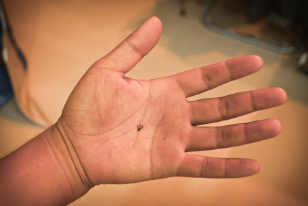 Dead mosquito  in a hand photo