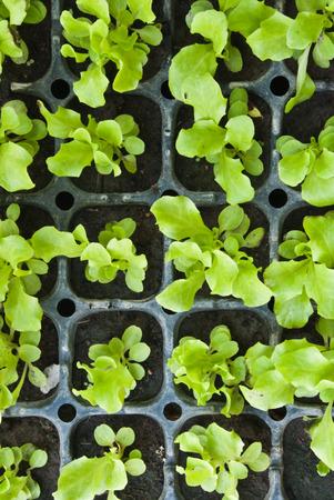 Lettuce trays