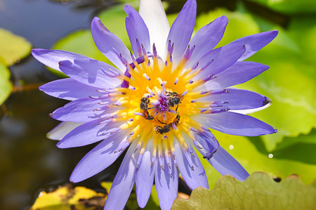 purple lotus: Purple lotus and bee