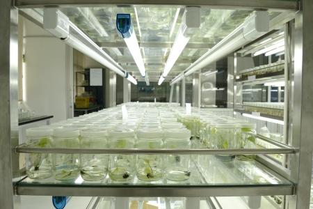 biotecnologia: experimento de cultivo de tejidos vegetales en el laboratorio