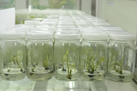 experiment plantenweefsel cultuur in het laboratorium