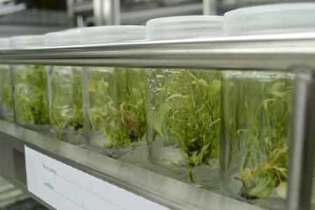 Expérience de culture de tissus végétaux en laboratoire Banque d'images - 15122292
