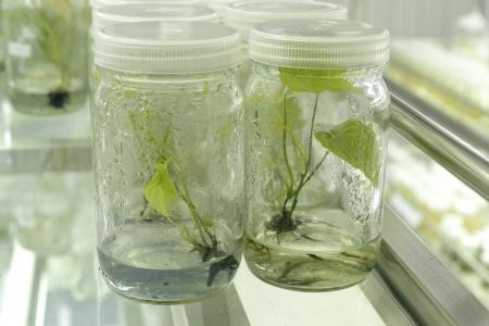 Expérience de culture de tissus végétaux en laboratoire Banque d'images - 15122297