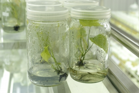 tejido: experimento de cultivo de tejidos vegetales en el laboratorio