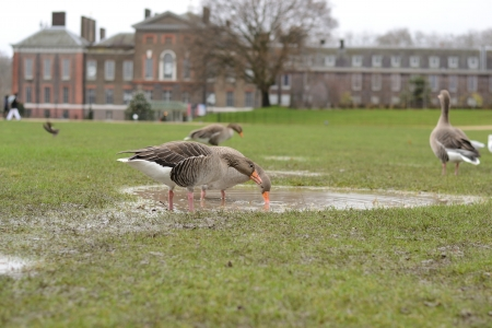 Brown geese are finding food on the grass