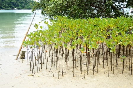 the flood tide: Mangrove trees are grown on the shore Stock Photo