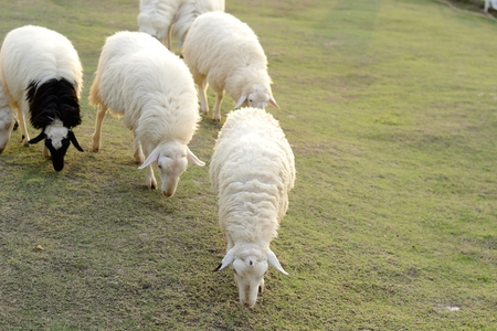 medow: Sheep in the farm eating grass in the evening