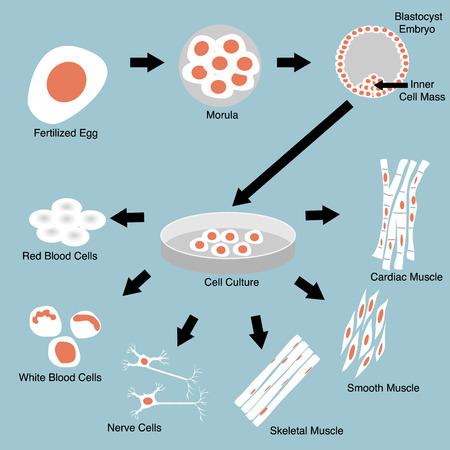 Ilustración de cultivo de células madre y la diferenciación celular Foto de archivo - 29458944