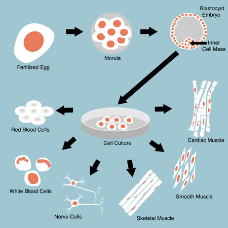 Illustration of stem cell culture and cell differentiation Illustration