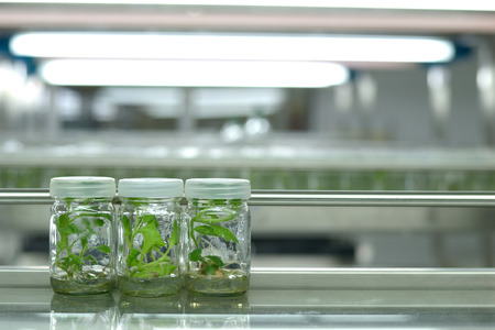culture: Plant tissue culture science research laboratory grown green plant in sterile bottle for education concept Stock Photo