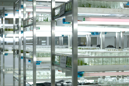 tissue culture: Plant tissue culture science research laboratory grown green plant in sterile bottle for education concept Stock Photo