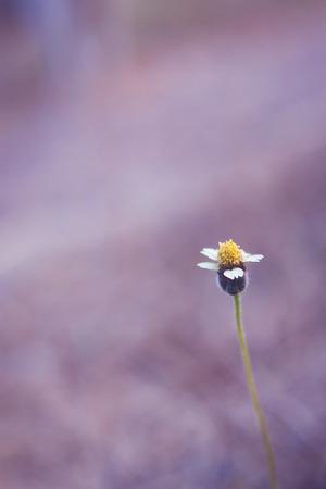 flor morada: Rightsection de flor blanca sola con polen amarillo sobre fondo morado, sentirse solo Foto de archivo
