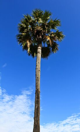 sugar palm: The Sugar palm trees and the blue sky background