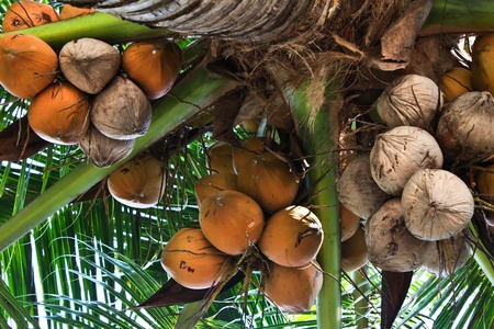 coconut drink: The coconut tree and fruit