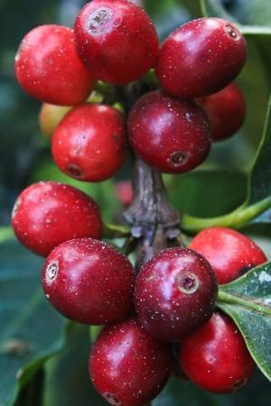 Cherry coffee beans close-up photo
