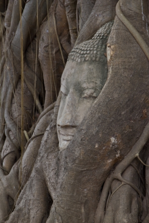 Buddha sculpture of head in bodhi tree of roots  photo