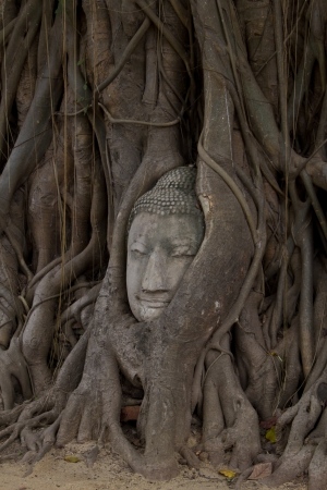 Buddha sculpture of head in roots at Wat Phra Mahathat photo