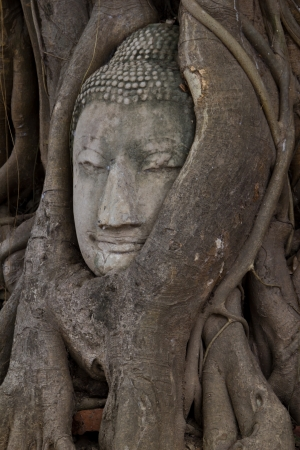 Buddha sculpture of head in roots at Wat Phra Mahathat, Thailand photo