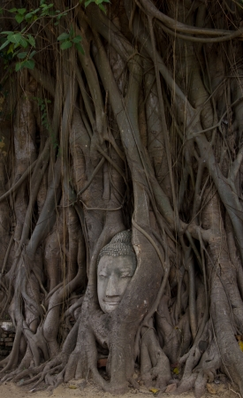 Buddha image of head in roots of bodhi tree at Wat Phra Mahathat photo