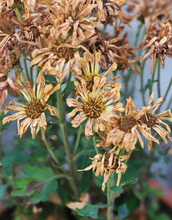 sear: Sear chrysanthemum flower in vase